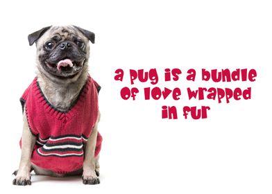 A pug is a bundle of love wrapped in fur by Edward Fiel ...