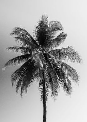 Coconut Tree in black and white