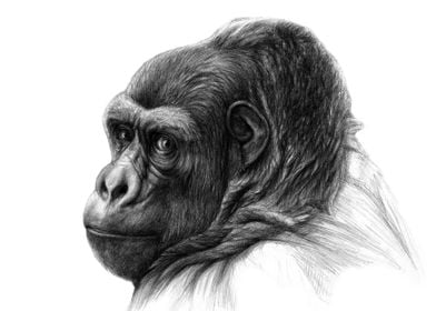 Gorilla glance back G038 graphite portrait by Svetlana ...