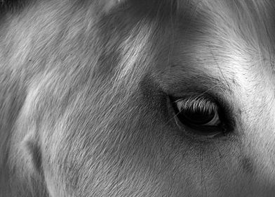 Close up macro black and white image of a grey Welsh Mo ...