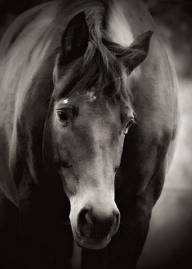"Black and white image of the wonderful ""Trakehner"" hors ..."