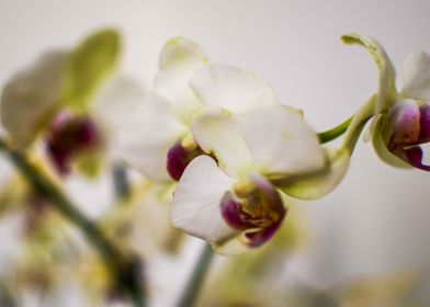 White Orchid. This most highly prized of ornamental pla ...