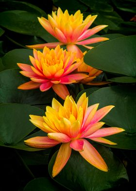 Colorful Waterlilies