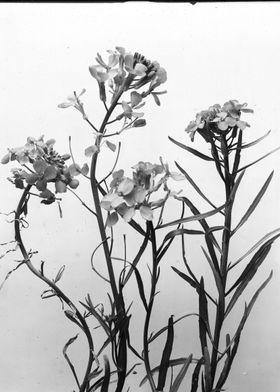 Western Wild Flower