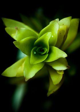 Aptenia succulent plant macro photography