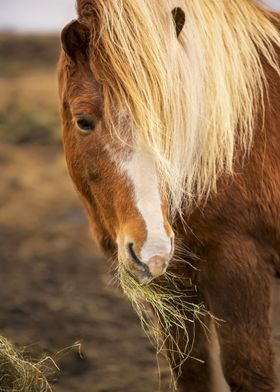 The Icelandic horse is a breed of horse developed in Ic ...
