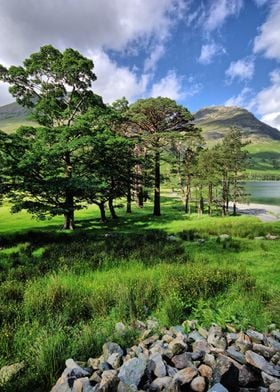 The famous pine trees at Buttermere in the Lake Distric ...