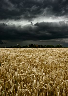 a wheat field with a big storm approaching.