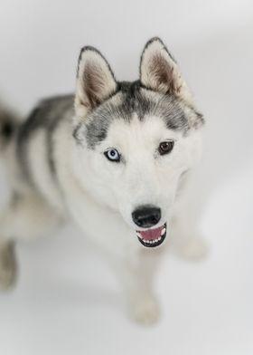 Luna the husky