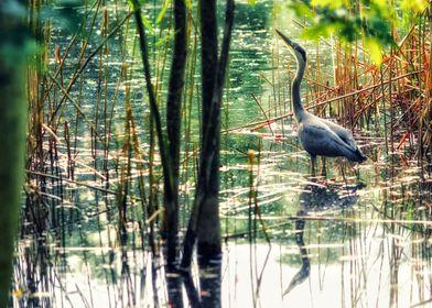 Great blue heron in Ostpark Frankfurt Germany.