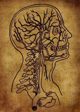 Anatomic30