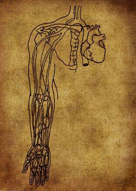 Anatomic31
