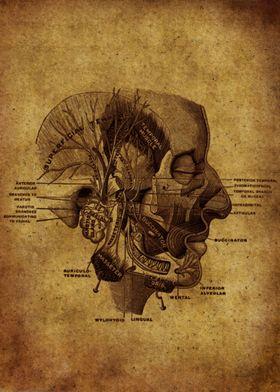 Anatomic48