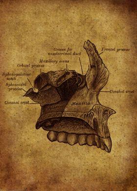 Anatomic53