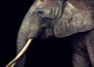 portrait of an elefant with black background