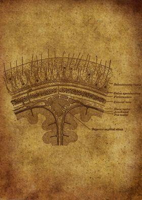 Anatomic87