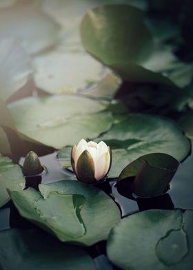 A beautiful waterlily