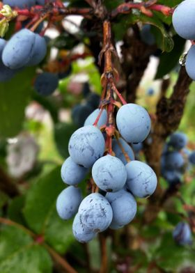 Blackthorn fruit
