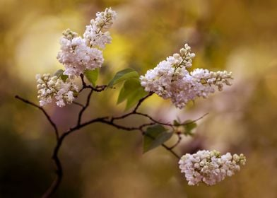 White blooming lilac flowers