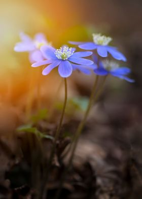 Blue liverworts at sunlight