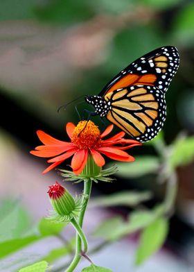 Monarch Butterfly atop an orange flower