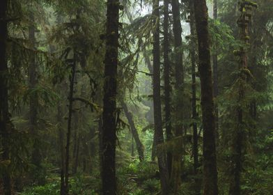 Foggy Northwest Forest