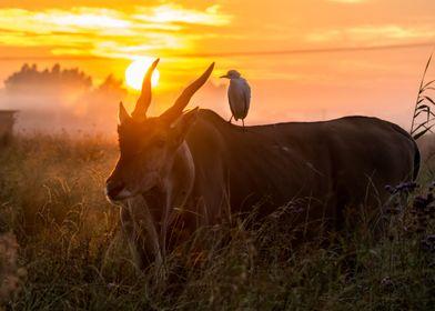 Eland sunrise with egret on its back