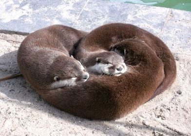 Heart of otters