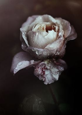 The Poetry of a rose