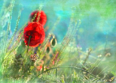 Early morning poppies