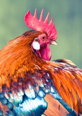 Colorful Rooster | Photography, Nikon D750