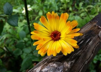 marigold in the forest