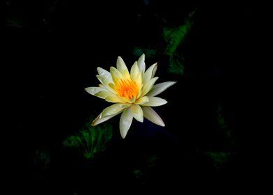 Lily Lotus