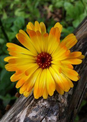 marigold on log