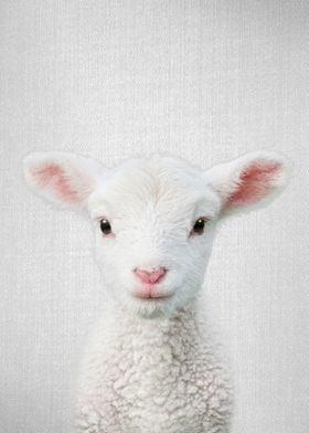 Lamb Colorful