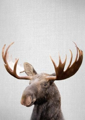 Moose Colorful