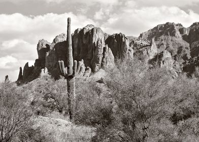 saguaro in black and white