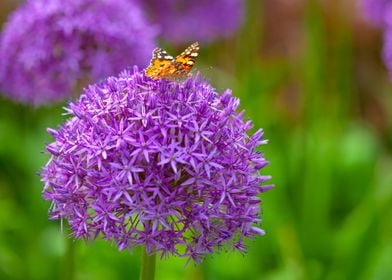 Butterfly on the allium