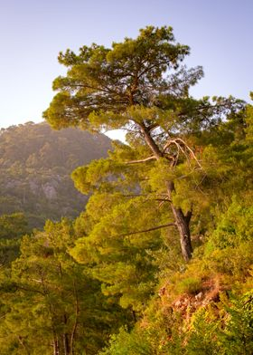 Pine tree at the top