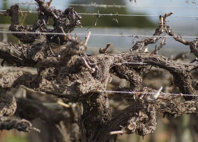 Overgrown Vine