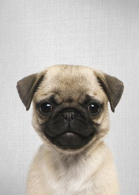 Pug Puppy Colorful