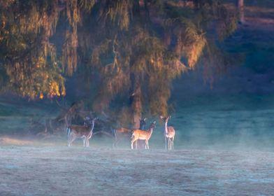 Misty Deer
