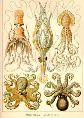 Cephalopod Gamochonia