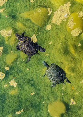Turtles in lake