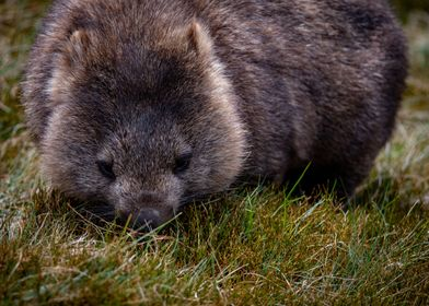 Wombat eating grass in Tas