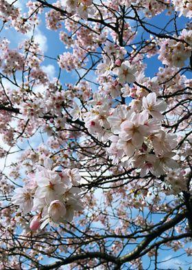 UK Spring Blossoms