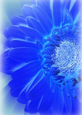 electric blue gerbera