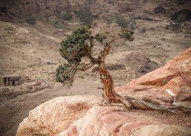 Phoenician Juniper Tree