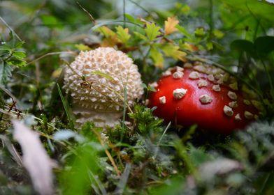 Small Amanita Muscaria