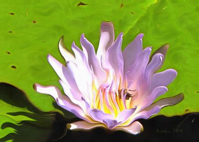 Pink Water Lily with a Bee